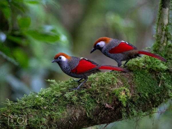 17-Days-Bird-Watching-and-Birds-Photography-in-the-South-Central-Highland-and-Central-of-Vietnam-10