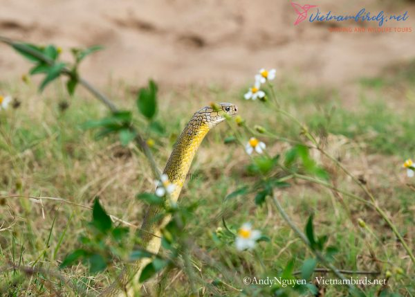 8-days-for-herping-tour-in-South-Vietnam-8