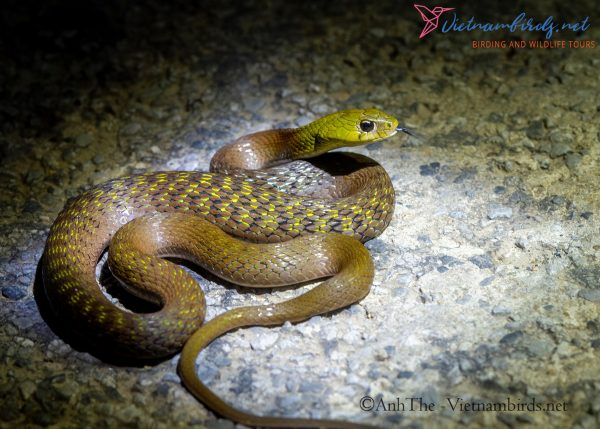 4-Days-Herping-Tour-in-the-Dong-Nai-Nature-Reserve-and-Cat-Tien-National-Park-10