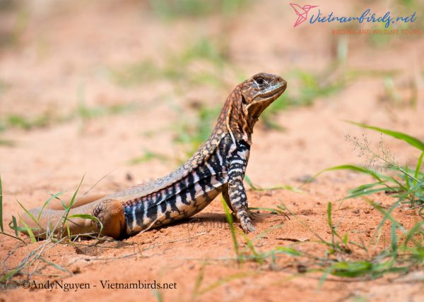 8-days-for-herping-tour-in-South-Vietnam-20