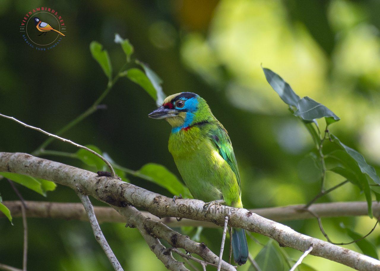 An Nam Barbet – Da Lat City Bird Watching
