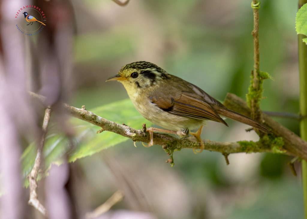 Bidoup Nuiba National Park – one of five EBAs suitable for bird watching holidays Black-crowned Fulvetta – Bidoup Nui Ba National Park