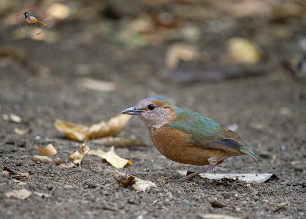 Blue-rumped Pitta Cat Tien National Park