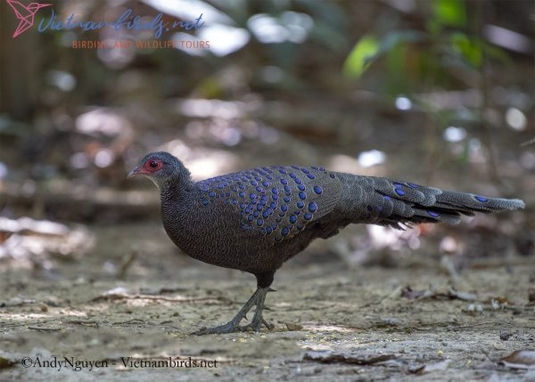 Germain's Peacock pheasant