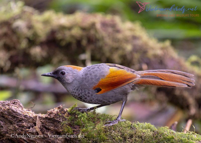 Golden-winged Laughingthrush - Best birding spots - places to go bird watching near me in Vietnam