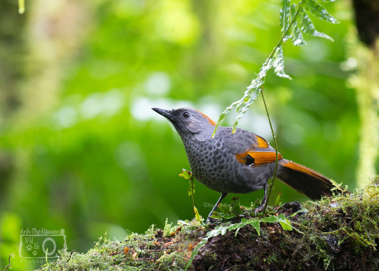 Golden-winged Laughingthrush - Ngoc Linh National Resever