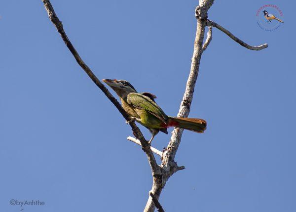 Red-vented Barbet – Di Linh Plateau