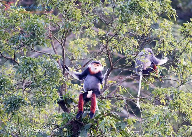 Red-shanked Douc langur in Sontra