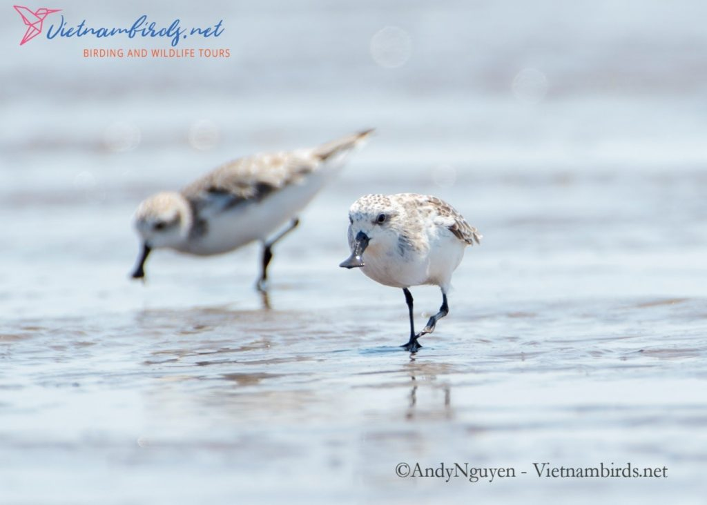 Spoon-billed Sandpiper is back