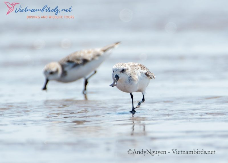 The most rare and endangered species today: Spoon-billed Sandpiper is back