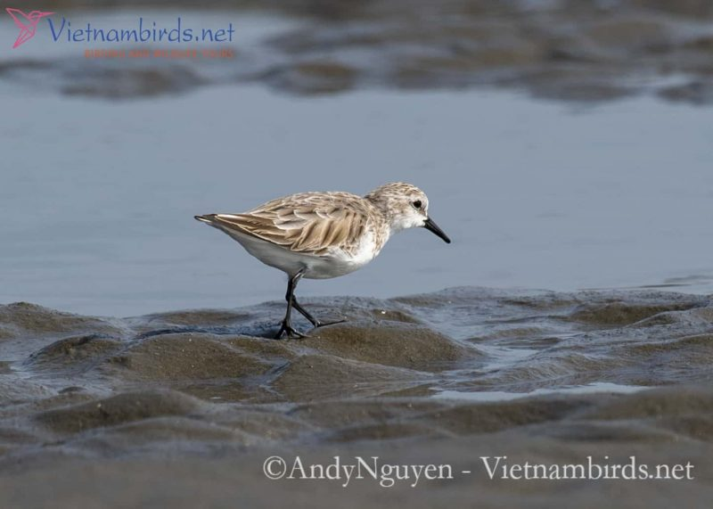 How to identify the differences between Red-necked Stint and Sanderling?