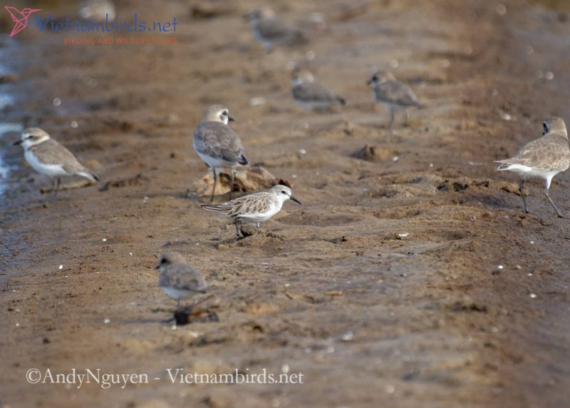 Red-necked Stint with Lesser sand-plover and Kentish Plover