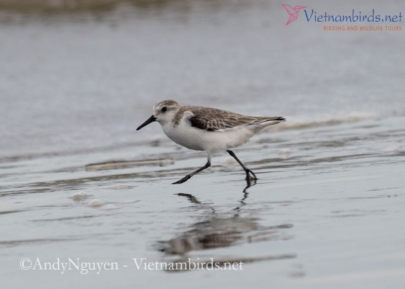 Sanderling in natural habitat