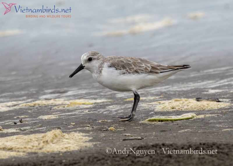 Red-necked Stint in natural habitat