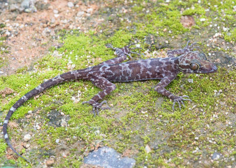 Cyrtodactylus raglai