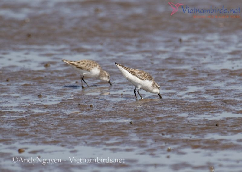 Red-necked Stint and Spoon-billed Sandpiper foraging at the intertidal mudflats