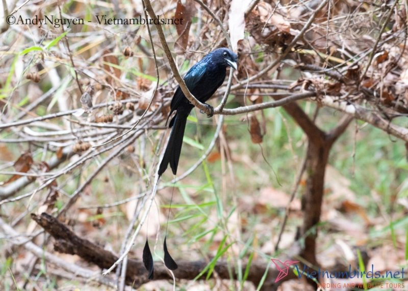 Greater Racket-tailed Drongo, 29Mar2021