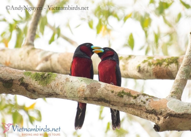 A pair of Black and Red Broadbill, Pictured at Cat Tien NP, Mar28, 2021