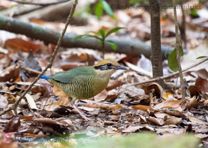 Bar-bellied Pitta , female . Cat Tien NP at Mar29, 2021