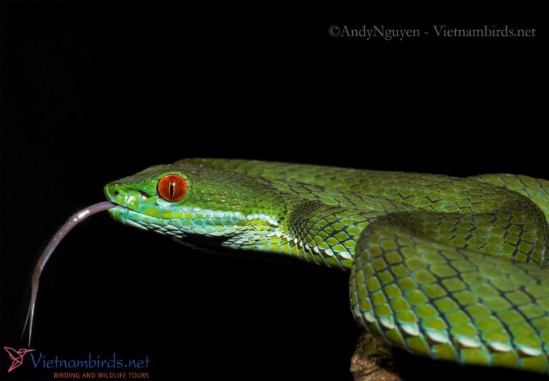 Ruby-eyed Green Pit-viper. Pictured at Mar28,2021