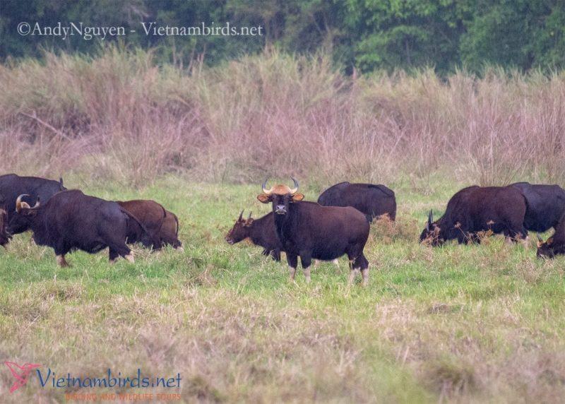 Gaurs on grassland at Cat Tien NP, Mar29,2021