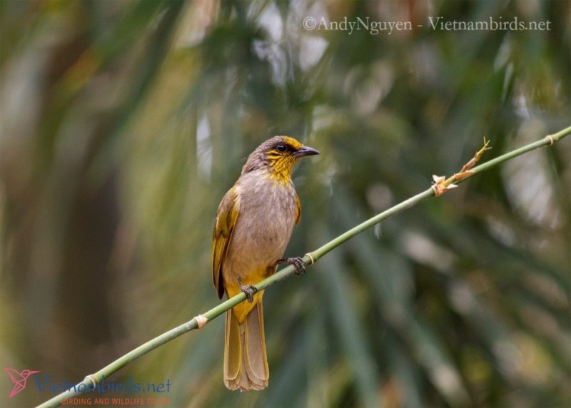 Yellow-striped Bulbul, beside the Restaurant at Cat Tien NP, Mar28