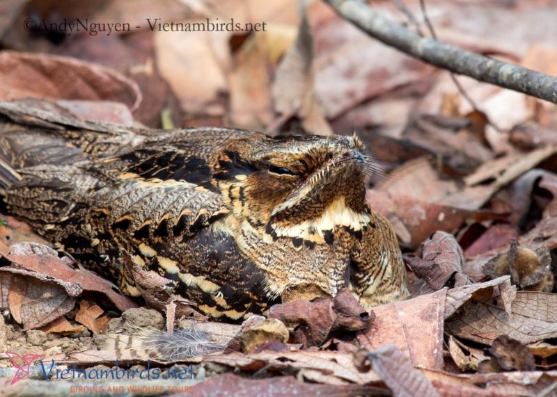 Large-tailed Nightjar , nesting on the ground. Picture at Cat Tien NP, Mar29- 2021