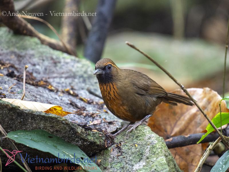 Orange-breasted Laughingthrush,