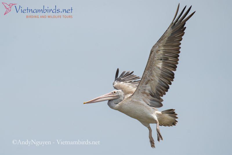 Images of Spot-billed pelican