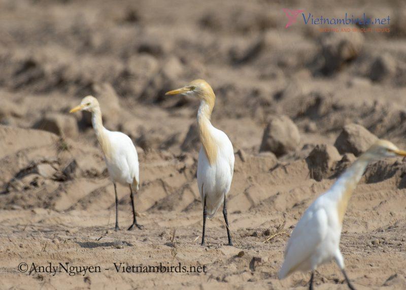 Images of Cattle Egret