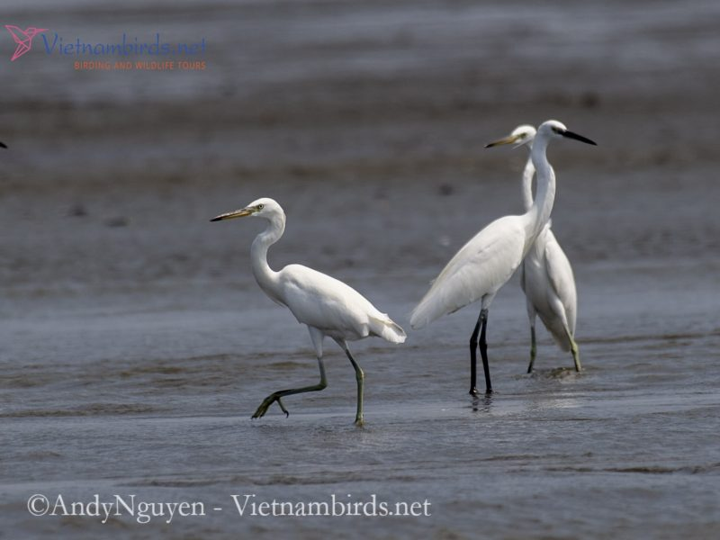 Image of Chinese Egret