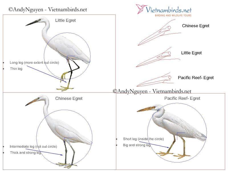 Egret Model