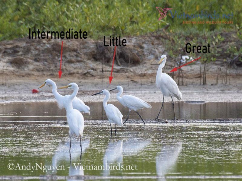 Great, Intermediate and Little Egret
