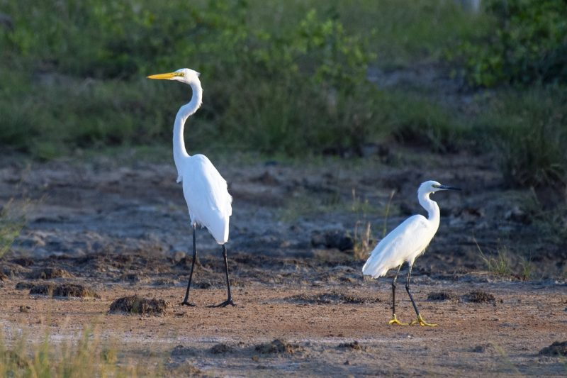 Image of Great Egret and Little Egret