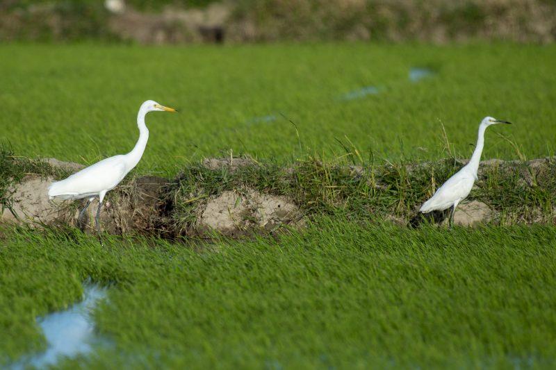Intermediate Egret and Little Egret