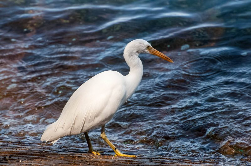 Pacific Reef-egret by Sapba Dabade