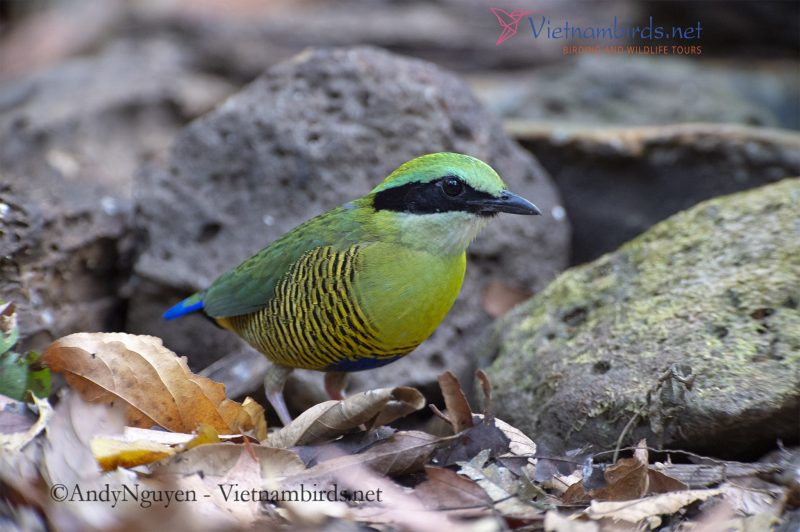 In order to photograph the Bar-bellied Pitta, I had to make a 'bird site' where the birds could come and feed, which required months of patience to give the birds a familiar reflex
