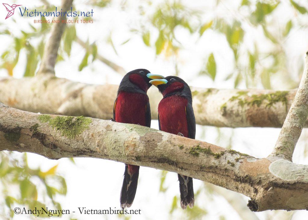 Black and Red Broadbill
