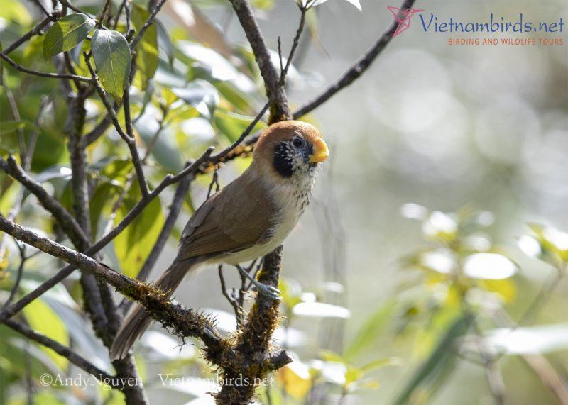 Spot-breated Parrotbill