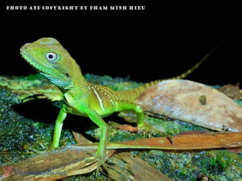 Picture of Asian Water Dragon in Nha Trang - Physignathus cocincinus.