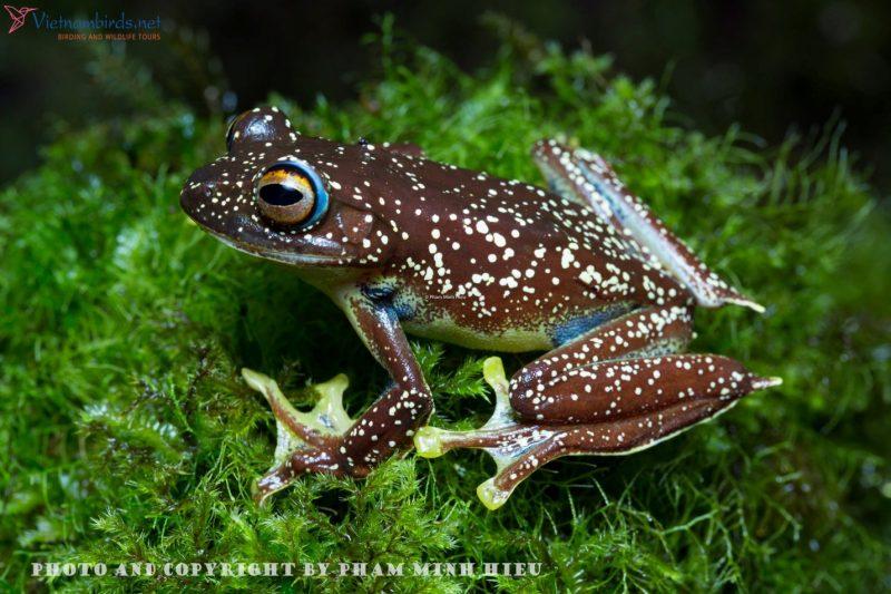 Picture of Frog in Bidoup Nuiba National park: Rhacophorus calcaneus - Vietnam Flying Frog.