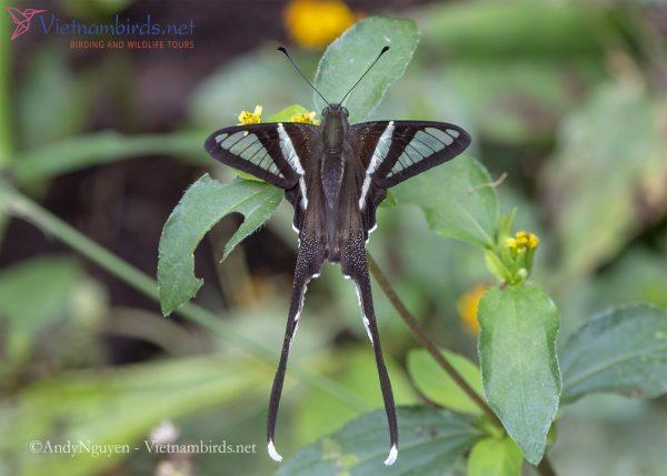 Lamproptera curius
