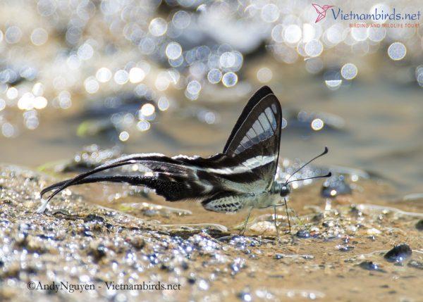 Lamproptera meges