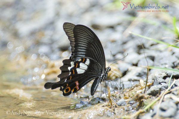 Papilio helenus