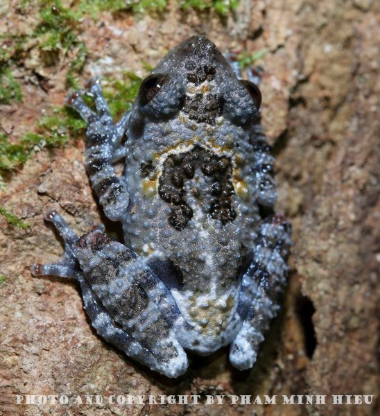 Picture of Frog in Bidoup Nuiba National park:  theloderma Vietnamese - South-Vietnamese Bug-eyed Frog.