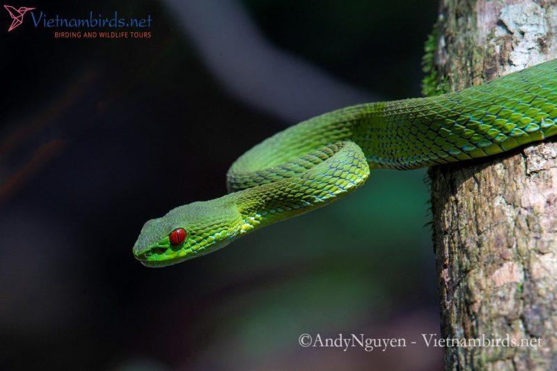 Snake in Cat Tien national park: Trimeresurus Rubeus  – Ruby-eyed Green Pit-viper.