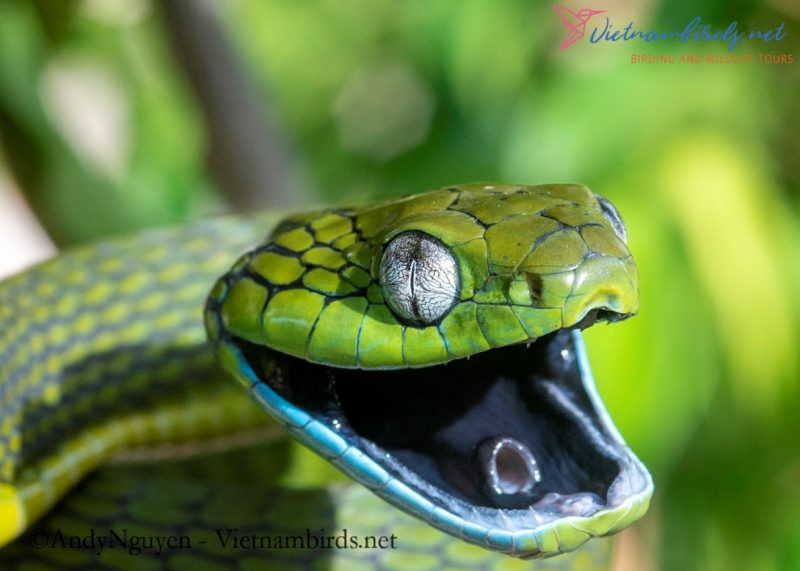Picture of Snake in Nha Trang: Boiga cyanea – Bamboo Cat Snake.