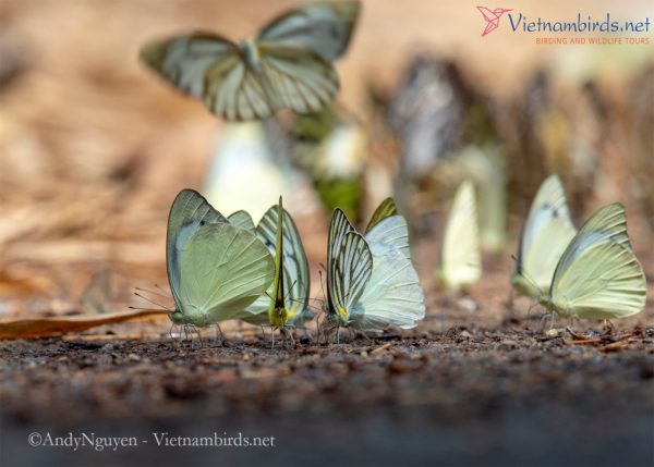 Appias albina (pale yellow) and Appias libythea (flying and grey patterns). Appias, commonly known as albatrosses, are medium-sized butterflies that often occur in small groups in trails.