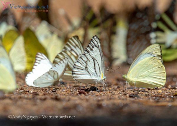 Appias libytheaand Appias albina.