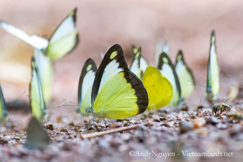 Appias lyncida, the chocolate albatross, is a striking butterfly with brilliant yellow wings, dark chocolate outer edges.